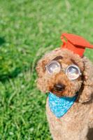 学生帽を被りびん底メガネを掛けたプードル犬