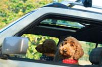 車に乗りドライブに出掛けるプードル犬
