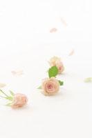 バラの花 11017002509| 写真素材・ストックフォト・画像・イラスト素材|アマナイメージズ