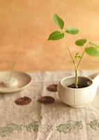 白い器に植えたグリーンの観葉植物とお香 11017002520| 写真素材・ストックフォト・画像・イラスト素材|アマナイメージズ