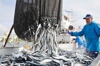 サンマの水揚げ 11017004749| 写真素材・ストックフォト・画像・イラスト素材|アマナイメージズ