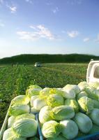 トラックの荷台に積まれた白菜