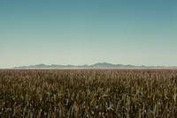 Field of corn in rural landscape 11018049980| 写真素材・ストックフォト・画像・イラスト素材|アマナイメージズ