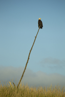 Bald eagle perched on stick against blue sky