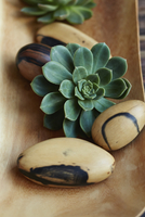 Close up of succulent plant and wood
