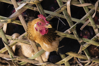 Close up of chicken peering through reed cage