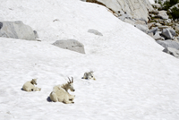 Mountain goats laying on snowy hillside