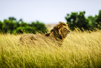 Lion standing in tall grass