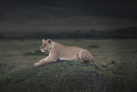 Lioness laying in field