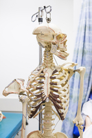 Anatomical skeleton looking away