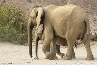Elephant and calf walking in dirt