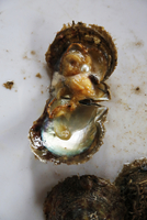 Close up of cracked fresh oyster