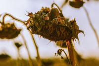 Close up of wilting sunflower in field