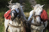 Horses pulling weight in harness