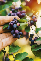 Low angle view of hand picking blueberries