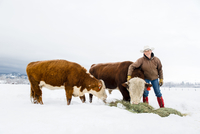 Caucasian farmer feeding cattle in snowy field