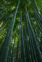 Low angle view of trees in bamboo forest