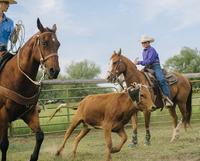 Cowgirl and cowboy lassoing cattle on ranch 11018073840| 写真素材・ストックフォト・画像・イラスト素材|アマナイメージズ