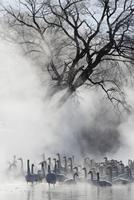 Fog and whooper swans in winter 11018080581  写真素材・ストックフォト・画像・イラスト素材 アマナイメージズ