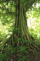 フィジーの熱帯雨林