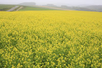 菜の花畑 11019015393| 写真素材・ストックフォト・画像・イラスト素材|アマナイメージズ