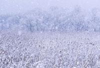 湿原に降る雪
