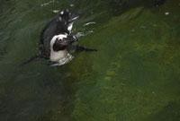 水中を泳ぐケープペンギン