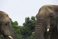 2頭のアフリカゾウ