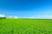 にんじん畑と青空 富良野