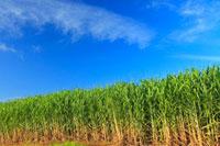 サトウキビ畑と青空 宮古島 11019021854| 写真素材・ストックフォト・画像・イラスト素材|アマナイメージズ