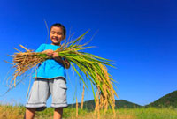 稲穂を抱える男の子 11019022995| 写真素材・ストックフォト・画像・イラスト素材|アマナイメージズ
