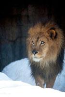 雪の中を歩くオスのライオン