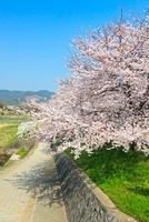 桜並木と青空 京都府