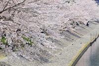 宇治川の桜並木 京都府