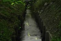 蛍の群れ 滋賀県