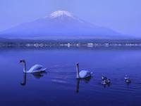 早朝の富士山と山中湖畔の白鳥