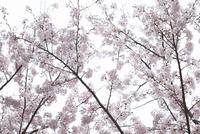 満開の桜 滋賀県