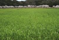小麦畑と桜並木 滋賀県