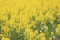 菜の花とモンシロチョウ 滋賀県
