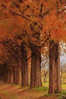 メタセコイア並木の紅葉 滋賀県