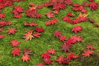 苔の上の紅葉 滋賀県