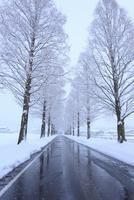 雪のメタセコイア並木 滋賀県