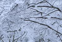 雪が積もる桜の木 滋賀県