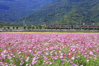 コスモス畑と列車 花蓮県