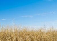 Dry Grass 11021006603| 写真素材・ストックフォト・画像・イラスト素材|アマナイメージズ