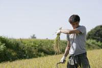 稲の収穫をする男性