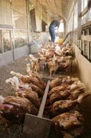 オーガニック飼育の鶏小屋
