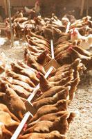 オーガニック飼育の鶏