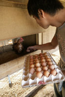 鶏卵を収穫する男性