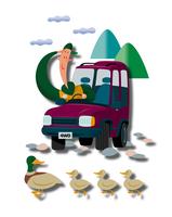 カルガモの親子と車を運転する男性